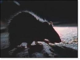 07 SOE rat